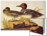 American Green-Winged Teal Posters by John James Audubon