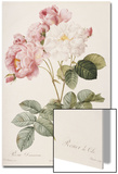 Rosa Damascena Prints by Pierre-Joseph Redouté