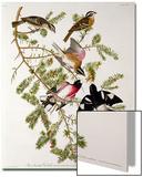 "Rose-Breasted Grosbeak from ""Birds of America"" Affiches par John James Audubon"