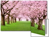 Gourgeous Cherry Trees In Full Blossom Poster by  Smileus