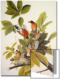 American Robin Print by John James Audubon