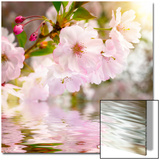 Cherry Blossoms with Reflection on Water Art by  Smileus