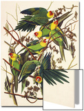 Carolina Parrot Prints by John James Audubon