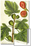 The Fig Tree, Plate 125 from 'A Curious Herbal', published 1782 Art by Elizabeth Blackwell
