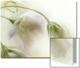 Study of Wilting White Flowers Prints by Mia Friedrich