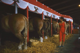Woman Dressed in Red Walking Past Stalls of Clydesdale Horses at the Iowa State Fair, 1955 Photographic Print by John Dominis