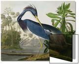 Héron de Louisiane, recueil Les oiseaux d'Amérique Posters par John James Audubon