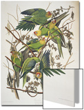"Carolina Parakeet, from ""Birds of America,"" 1829 Prints by John James Audubon"