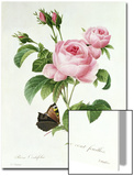 Rosa Centifolia Poster von Pierre-Joseph Redouté