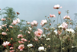 Cosmos Flowers at Beetlebung Corner, Martha's Vineyard, Massachusetts 1960S Photographic Print by Alfred Eisenstaedt