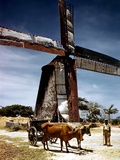 December 1946: a Herder with His Cattle Oxen in Front of an Old Windmill in Barbados Photographic Print by Eliot Elisofon