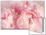 Closeup of Peony Flowers Print by  Sandralise