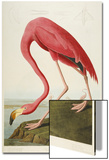 American Flamingo, from 'The Birds of America' Art by John James Audubon