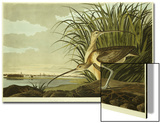 Male And Female Long Billed Curlew (Numenius Americanus) with the City of Charleston Behind Affiche par John James Audubon