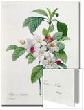 """Apple Blossom, from """"Les Choix Des Plus Belles Fleurs"""" Prints by Pierre-Joseph Redouté"""
