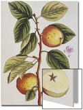 Apple Tree (Malus Sativa), 1739 Kunstdrucke von Elizabeth Blackwell