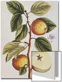 Apple Tree (Malus Sativa), 1739 Prints by Elizabeth Blackwell