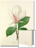 Magnolia Soulangiana Posters by  Langlois