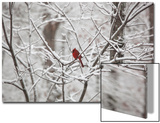 Cardinal on Snow Covered Trees Print by Henri Silberman