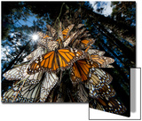 Millions of monarch butterflies travel to winter roosts in Mexico. Posters by Joel Sartore