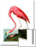 American Flamingo, 1834 Poster by John James Audubon