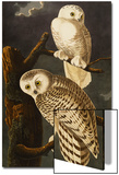 Snowy Owl (Nyctea Scandiaca), Plate Cxxi, from 'The Birds of America' Poster by John James Audubon