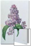 Lilacs Posters by Pierre-Joseph Redouté