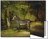 A Zebra, 1763 Prints by George Stubbs