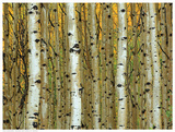 Golden Aspens Print by  Adolphson