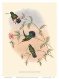 Hummingbirds on Branch - Veruguan Lance-Bill (Dorifera Veraguensis) Posters by John Gould