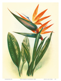 Bird of Paradise Posters by Ted Mundorff