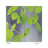 Aspen Sapling Limited Edition by Ken Bremer