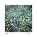 Fir Needles Limited Edition by Ken Bremer