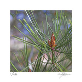 Pine Bud Limited Edition by Ken Bremer