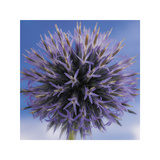Globe Thistle Giclee Print by Don Paulson