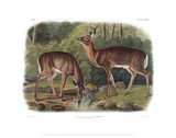 Cervus Virginanus, Common or Virginian Deer, Old male and female Giclee Print by John James Audubon