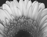 Gerbera Prints by  Art Photo Pro