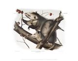 Didelphis Virginiana, Virginian Opossum Giclée-tryk af John James Audubon
