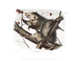 Didelphis Virginiana, Virginian Opossum Giclee Print by John James Audubon