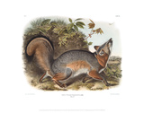 Canis (Vulpes) Virginianus, Grey Fox Giclee Print by John James Audubon