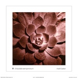 Chocolate Sempervivum Prints by Mark Baker