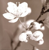 Blossom III - sepia Prints by Unknown