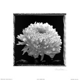 Dramatic Peony Prints by Mark Baker