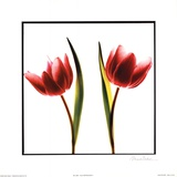 Tulip Impressions II Prints by Mark Baker