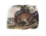 Lynx Rufus, Common American Wild Cat Giclee Print by John James Audubon