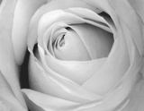 Rose Posters by  Art Photo Pro