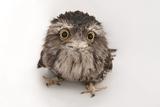 A Tawny Frogmouth Owl, Podargus Strigoides, at the Fort Worth Zoo Opspændt lærredstryk af Joel Sartore