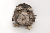 A Tawny Frogmouth Owl, Podargus Strigoides, at the Fort Worth Zoo Stretched Canvas Print by Joel Sartore