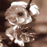 Blossom II Prints by Unknown