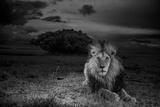 A Dark-Maned Male Lion known as C-Boy Lærredstryk på blindramme af Michael Nichols